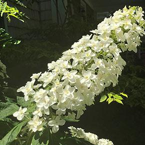 Snowcicle Oakleaf Hydrangea