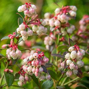 Bluecrop Blueberry Hedge