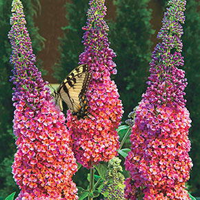 Kaleidoscope Butterfly Bush