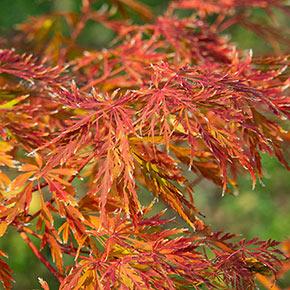 Ice Dragon Maple Tree