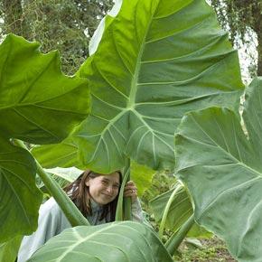 Thailand Giant Colocasia