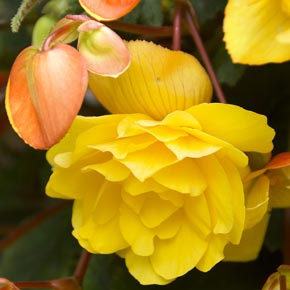 Yellow Pendula Begonia