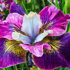Charming Billy Siberian Iris