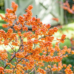 Winter Gold Winterberry Shrub Pair