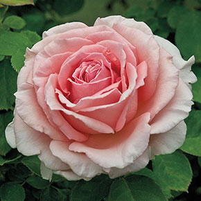 Pearly Gates™ Climbing Rose