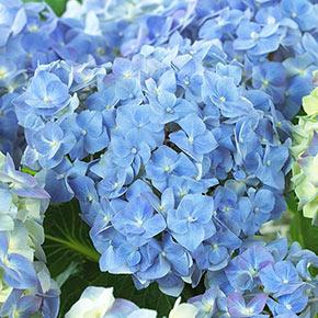 Blue Heaven Hydrangea