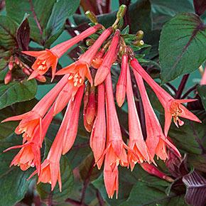 Gartenmeister Fuchsia