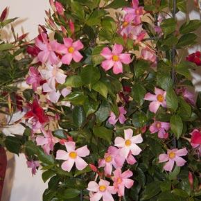 Sun Parasol<sup>®</sup> Pretty Pink Mandevilla