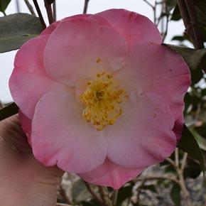 April Remembered Camellia