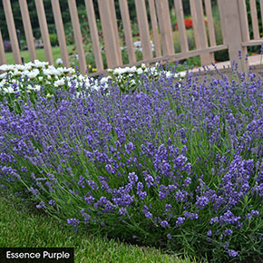 I Love Lavender Collection