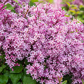 Be Right Back™ Lilac Shrub