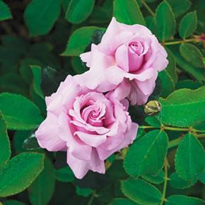 Memorial Day™ Hybrid Tea Rose