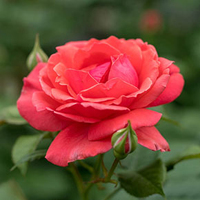 Coral Freedom Rose