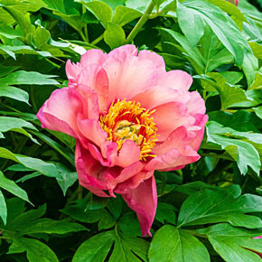 Magical Mystery Tour Itoh Peony