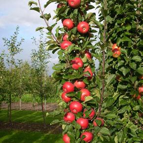 Tasty Red™ Urban Apple<sup>®</sup> Tree