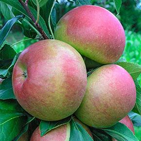 Blushing Delight™ Urban Apple® Tree