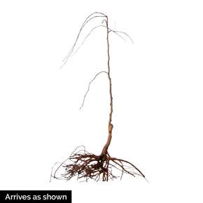 Lavender Twist<sup>®</sup> Weeping Redbud Tree
