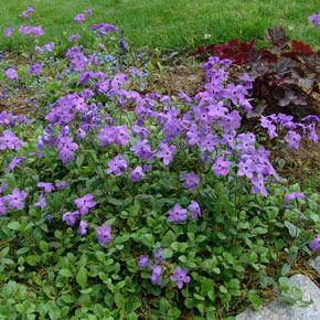 Sherwood Purple Woodland Phlox