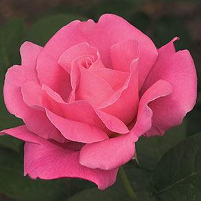 Perfume Delight Hybrid Tea Jumbo Rose