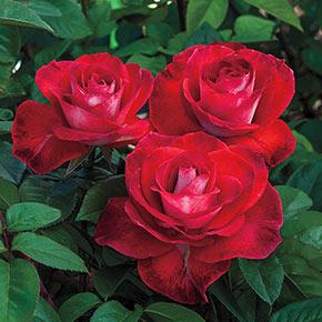 Smokin' Hot™ Hybrid Tea Rose