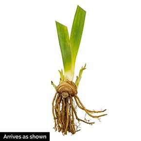 Black Suited Bearded Iris