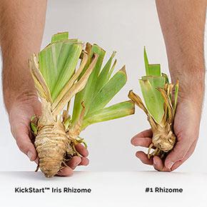 Spicy Hot Reblooming KickStart™ Iris