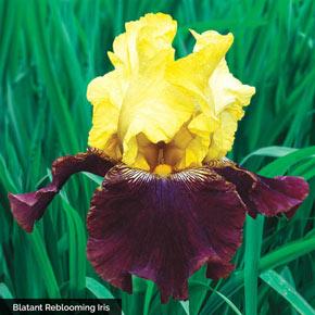The Works Reblooming KickStart™ Iris