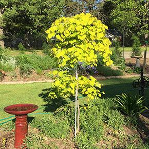Golden Falls™ Redbud tree