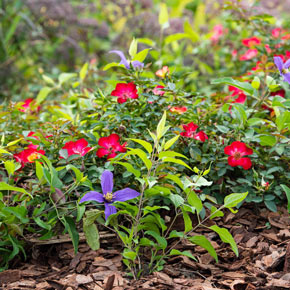 Playful Happy Trails™ Groundcover rose