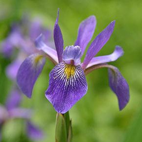 Purple Flame Iris