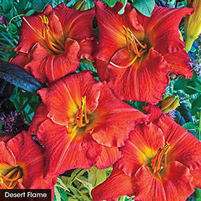 Color POP Reblooming Daylily Collection
