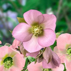 King Single Soft Pink Lenten Rose