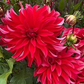 Red Labyrinth Dahlia