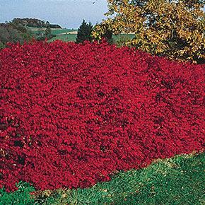 Dwarf Burning Bush Hedge