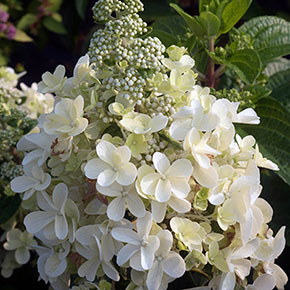 Candelabra<sup>®</sup> Hydrangea Hedge
