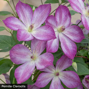 Eye Catching Edges Clematis Collection