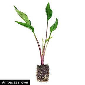 PowWow<sup>®</sup> Wild Berry Coneflower