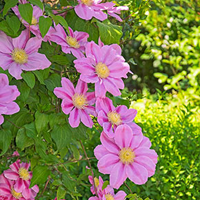 Clematis Pink Beauty