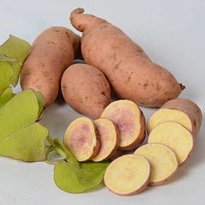 Treasure Island Makatea Sweet Potato Vine