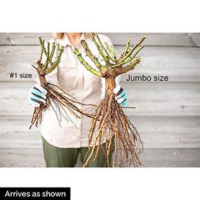 Ketchup And Mustard Floribunda Rose