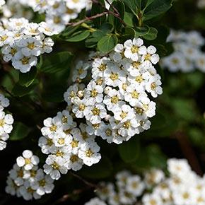 Spirea Snowmound White