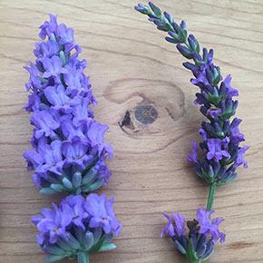 Sensational!<sup>®</sup> Lavender
