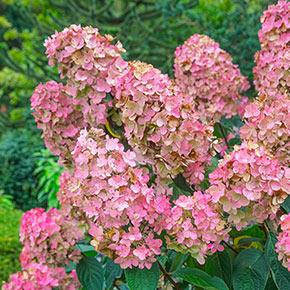 Pink Diamond Hydrangea