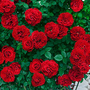 Our Choice Jumbo Climbing Rose