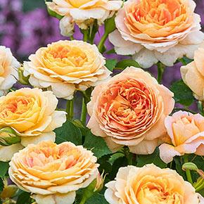 Our Choice Jumbo Grandiflora Rose