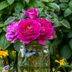 Perfume Factory™ Hybrid Tea Rose