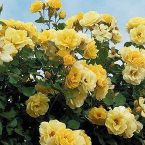 Sky's The Limit™ Climbing Rose