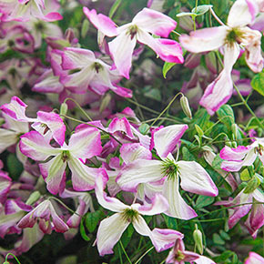 Clematis I Am™ Lady Q