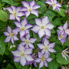 Clematis Lucky Charm