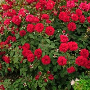 Oh My!™ Floribunda Rose